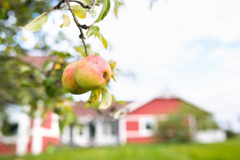 kullen äpplen i förgrund